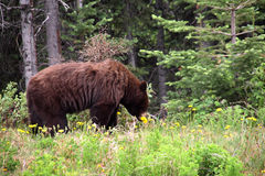 Brown bear eating dandelion, Alaska Royalty Free Stock Images