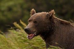 Brown Bear eating fish Royalty Free Stock Photography