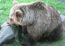 Brown Bear Eating Fish Royalty Free Stock Photos