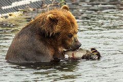 Brown bear eating fish caught in Kurile Lake. Royalty Free Stock Images