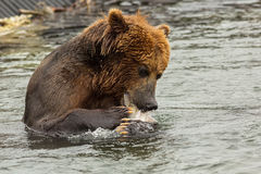 Brown bear eating fish caught in Kurile Lake. Stock Photos