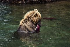 Brown Bear Eating Fish Caught In Lake,Kamchatka Peninsula,Russia royalty free stock photo