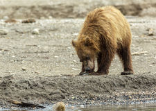 Brown bear eating fish seized from the mother. Kurile Lake. Royalty Free Stock Images