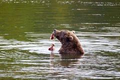 Brown bear eating fish Stock Photos