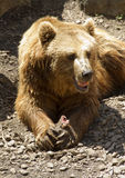 Brown bear. Eating the flesh Stock Photo