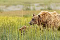Brown bear eating grass Royalty Free Stock Image