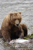 Brown bear eating salmon. On the bank of Brooks River Stock Image