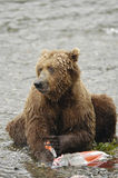 Brown bear eating salmon. On the bank of Brooks River Stock Images