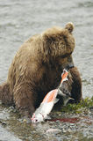 Brown bear eating salmon. On the bank of Brooks River Royalty Free Stock Image