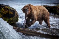 Brown Bear Eating Salmon royalty free stock photo