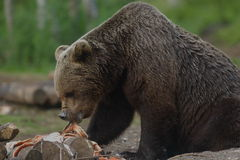 Brown bear eating salmon Royalty Free Stock Images