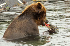 Brown bear eating a salmon caught in Kurile Lake. Royalty Free Stock Photography