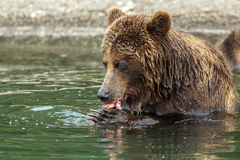 Brown bear eating a salmon caught in the Kurile Lake. Royalty Free Stock Photos