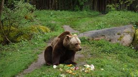 Brown bear eating vegetables on meadow stock images