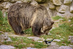 Brown Bear. Eats a Fish Royalty Free Stock Photos