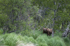 Brown Bear emerging from forest Stock Photo