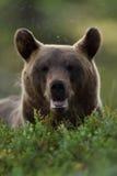 Brown bear enjoying a summer forest Royalty Free Stock Photos