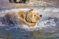 Brown bear Stock Photography