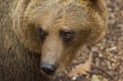 brown bear europejskiego portret Zdjęcia Stock