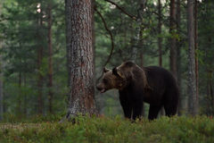 Brown bear in a evening forest Royalty Free Stock Photos