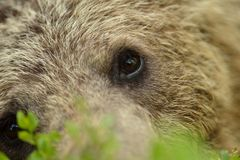 Brown bear eyes Stock Photo