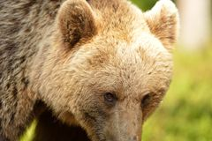 Brown bear eyes Stock Photography