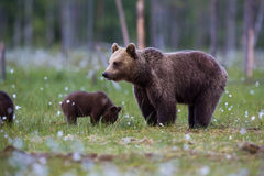 Brown bear family in Finnish field with flowers Royalty Free Stock Photo