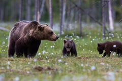 Brown Bear Family In Finnish Field With Flowers Royalty Free Stock Photography
