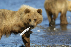Brown bear with feather. In its mouth Stock Photos