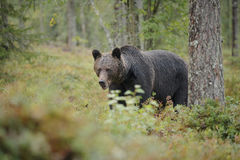 Brown bear. A brown bear in Finland confidently approaches Royalty Free Stock Photography
