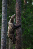 Brown bear in Finland forest climbing tree Stock Photography