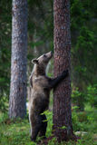 Brown bear in Finland forest climbing tree Stock Photos