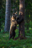 Brown bear in Finland forest climbing tree Royalty Free Stock Photography