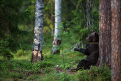 Brown bear in Finland forest Royalty Free Stock Image