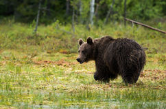 Brown bear in finland Royalty Free Stock Photography