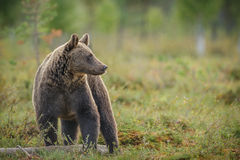 Brown bear, Finland Royalty Free Stock Photo