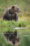 Brown bear, Finland Stock Photos