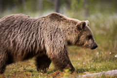Brown bear in Finnish field with flowers Royalty Free Stock Images