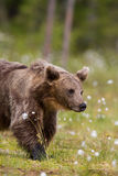 Brown bear in Finnish field with flowers Royalty Free Stock Photos