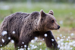 Brown bear in Finnish field with flowers Royalty Free Stock Photography
