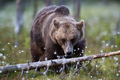 Brown bear in Finnish field with flowers Royalty Free Stock Image