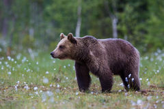 Brown bear in Finnish field with flowers Royalty Free Stock Photo