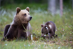 Brown bear in Finnish field with flowers Stock Photo