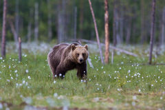 Brown bear in Finnish field with flowers Stock Photography