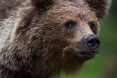 Brown bear in Finnish forest Stock Photo