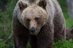 Brown bear in Finnish forest Stock Images