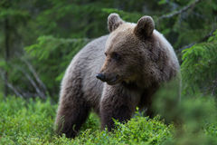 Brown bear in Finnish forest Stock Photos
