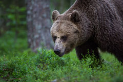 Brown bear in Finnish forest Royalty Free Stock Photos