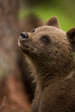 Brown bear in Finnish forest Royalty Free Stock Images
