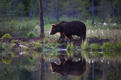 Brown bear in Finnish forest with reflection from lake Stock Photo